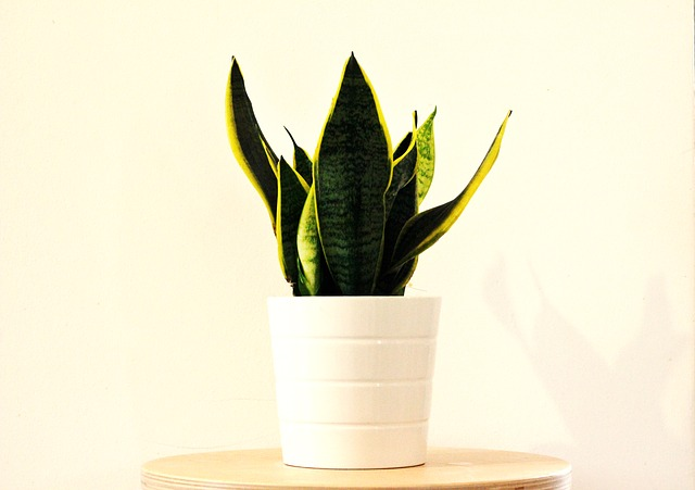 snake plant - top indoor plants